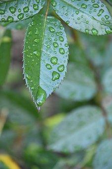 Leaf, Rosebush, Drop, Water, Nature, Garden, Rain