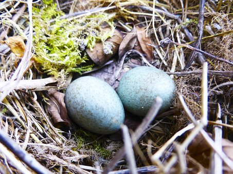Nest, Eggs, Nature, Blue, Branch, Wood
