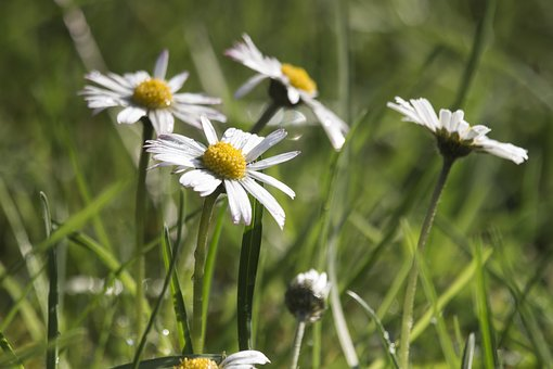 Daisies, Grass, Nature, Summer, Figure, Flowers, Spring