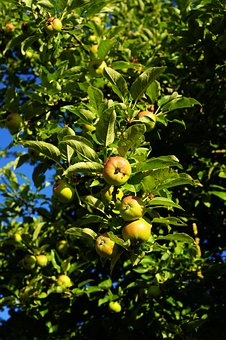 Apple, Apple Tree, Garden, Fruit, Nature, Healthy