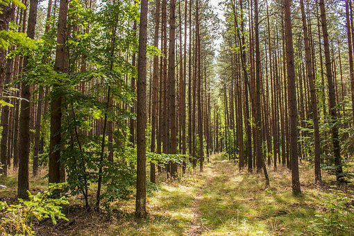 Forest, Tree, Nature, Forests, Landscape, The Stage