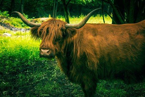 Beef, Aurochs, Ox, Ur, Usus, Cattle, Animal, Horns