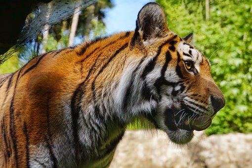 Tiger, Big Cat, Panthera Tigris, Animal, Mammal