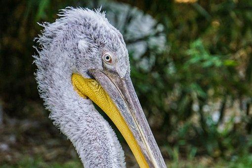 Pelikan, Zoo, Bird, Water Bird, Plumage, Nature, Animal