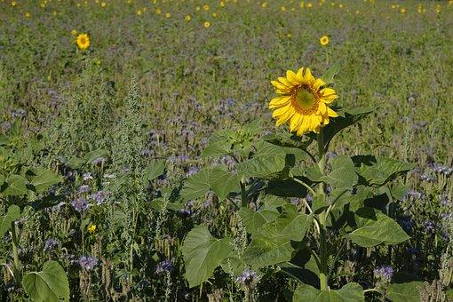 Sun Flower, Phacelia, Bees, Flowers, Wildflowers