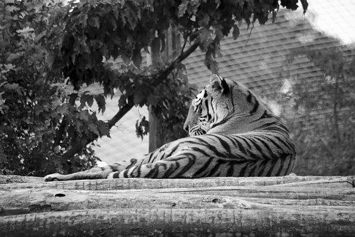 Tiger, Zoo, Predator, Wildcat, Majestic, Stripes