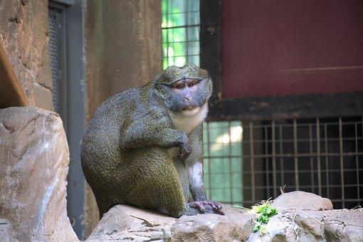 Gibbons, Monkey, Animal, Gibbon, Mammal, Primate