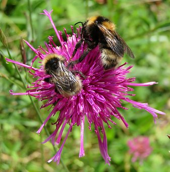Bee, Hummel, Insect, Nature, Meadow, Summer, Purple