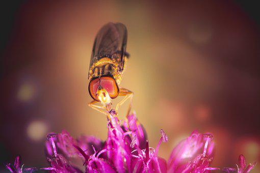Hoverfly, Standing Fly, Schwirrfliege, Flying, Flower