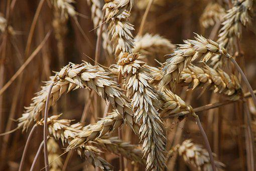 Wheat, Spike, Cereals, Grain, Field, Wheat Grains