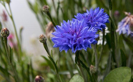 Cornflower, Plant, Blossom, Bloom, Flowers, Summer