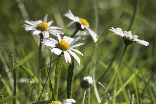Daisies, Grass, Nature, Summer, Figure, Flowers, Spring