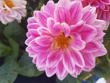 Flower, Sun, Pink