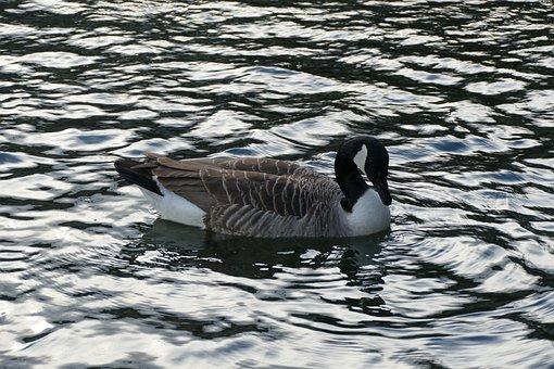 Water, Duck, Water Bird, Duck Bird, Poultry, Swim, Bird