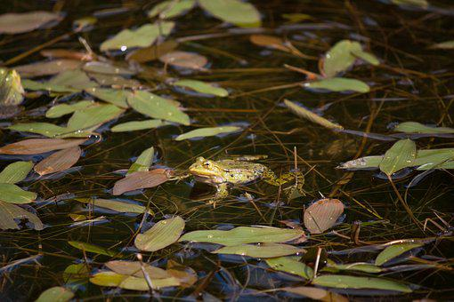 Frog, Pond, Water, Nature, Water Frog, Frog Pond
