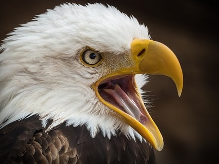 Adler, White Tailed Eagle, Raptor, Bird Of Prey