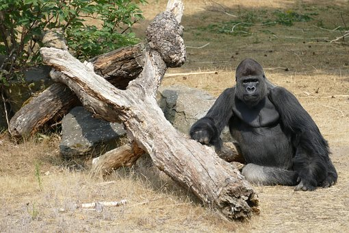 Gorilla, Lowland Gorillas, Monkey, Primate, Fauna, Wild
