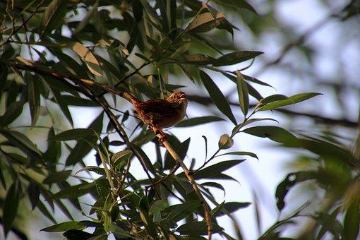 Willow Wren, Bird, Morning, Singing