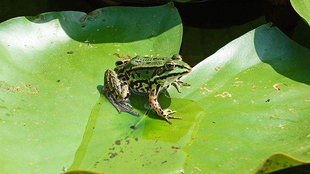 Frog, Pond, Waterlily, Amphibian, Water, Lily Pad