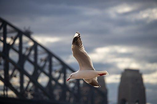 Seagull, Flight, Bird, Fly, Nature, Sky, Animal