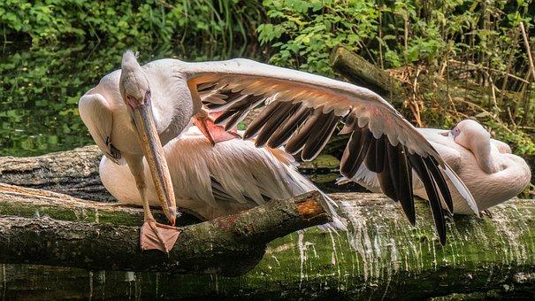 Water Bird, Bird, Wing, Pelikan, Animal