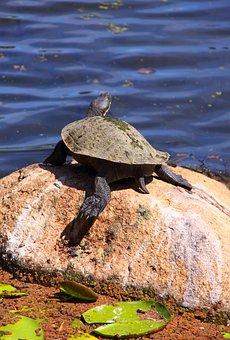 Turtle, Rock, Animal, Lillypad