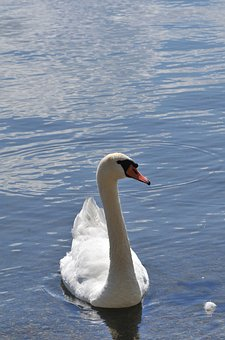 Swan, Water, Nature, Animals, Lake, Plumage, White