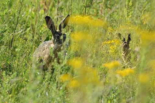 Hares, Pasture, Hide, Grass, Meadow, Animals, Play