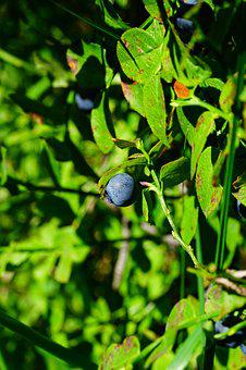 Blueberry, Berry, Fruit, Blue, Accinium Myrtillus