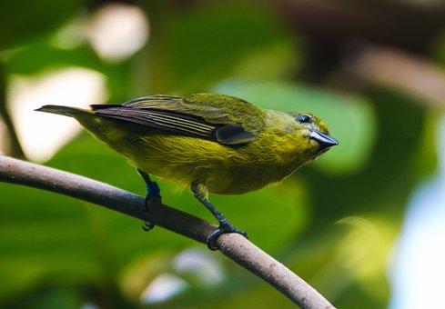 Animal World, Bird, Exotic, Violet Organist, Feather