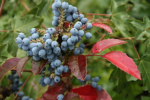 Mahogany, Barberry, Berberis Aquifolium, Berries, Blue
