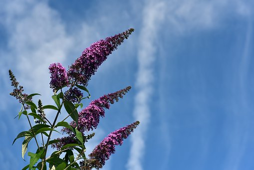 Lilac, Sky, Clouds, Blue, White, Purple, Green, Flowers