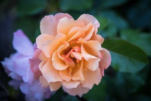 Blossom, Bloom, Bloom, Rose, Rose Bloom, Bush, Rosebush