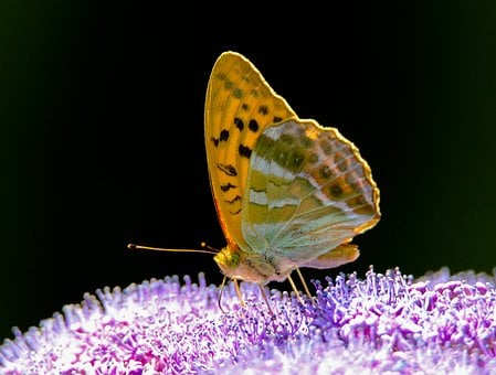 Animal World, Butterfly, Insect, Wing, Close Up, Nectar