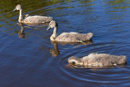 Swan, Cygnet, Chicks, Water Bird, Animal, Young, Fluff