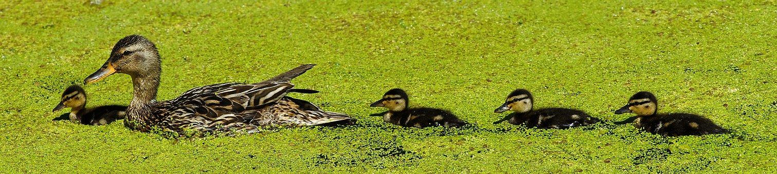 Duck, Mama, Chicks, Sweet, Cute, Bill, Plumage