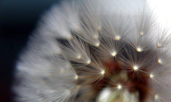 Dandelion, Close Up, Flower, Fairies, Make A Wish