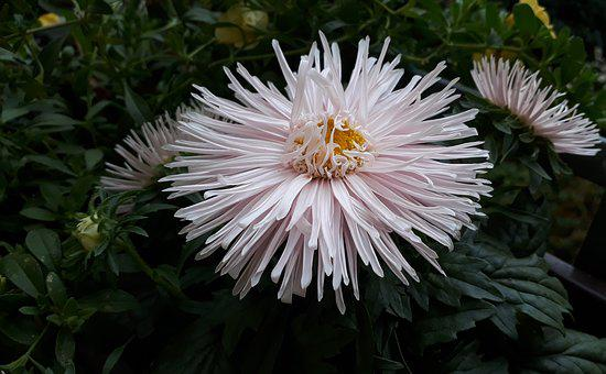 Aster, Flowers, Close Up, White, Summer Meadow, Balcony