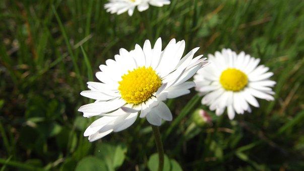 Daisy, Flowers, Summer, Macro, Garden, Daisies, White