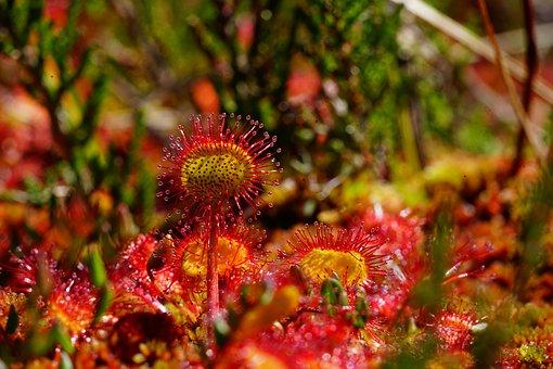 Round-leaved Sundew, Sundew, Drosera Rotundifolia
