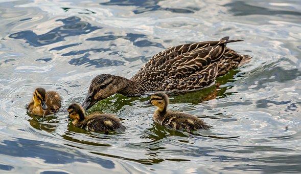 Ducks, Swimming, Mother, Ducklings, Water, Bird, Nature