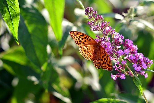 Fritillary, Butterfly, Insect, Edelfalter, Blossom