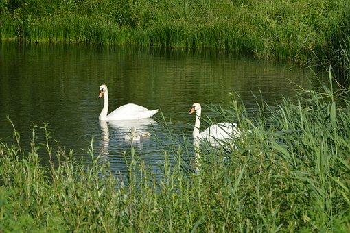 Swan, Water Fowl, Elegant, Chicks, Bird, Lake, Dam