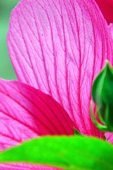 Purple, Pink, Hibiscus, Swamp Hibiscus, Fertile Stamens