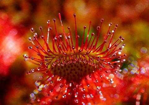 Sundew, Fishing Blades, Round-leaved Sundew