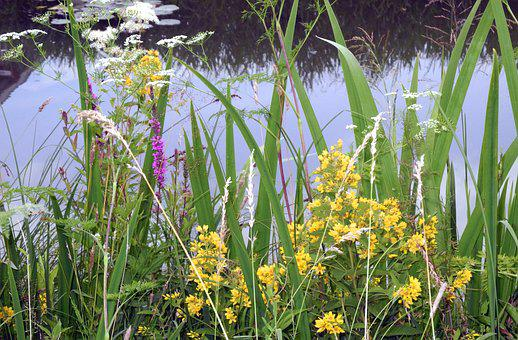 Marsh Plants, Wetlands, Nature, Plant, Flora, Reed