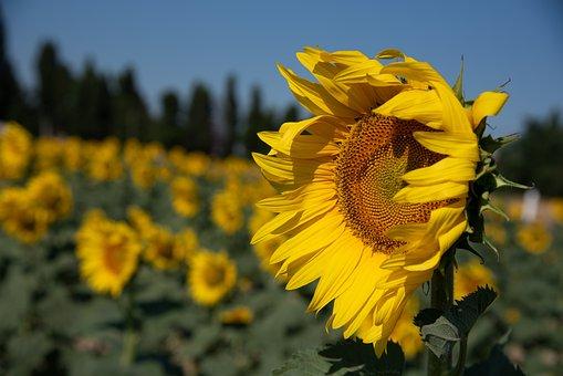 Sunflower, Wind, Beaucaire, Flower, Nature, Summer