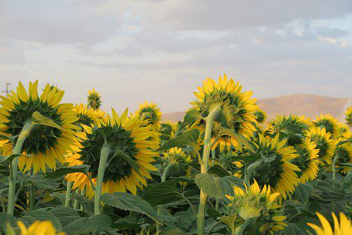 Sunflower, Facing The Day, Plant, Nature, Flower