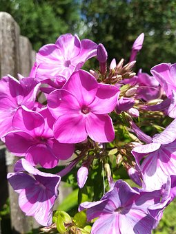 Flowers, Phlox, Purple Flower, Flower, Nature, Plant