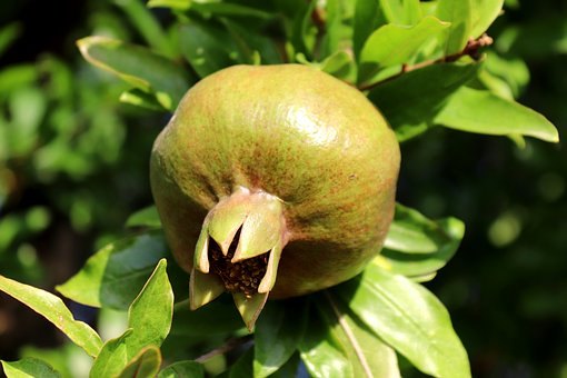 Pomegranate, Plant, Nature, Fruit, Food, South, Summer